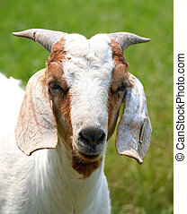 Billy Goat - A billy goat