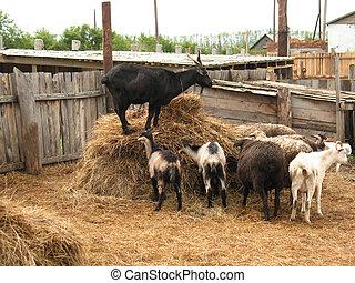 billy-goat and nanny-goats