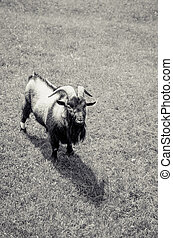 billy-goat animal