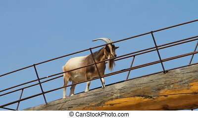 Billy goat walking across bridge
