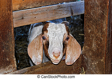 Billy Goat - Cute billy goat peeking from barn stall.