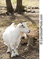 Billy goat - Cute little billy goat with short stubby legs
