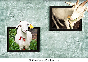 Billy goat goat in the frame