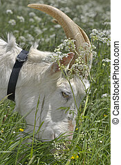 billy goat grazing in meadow - close on a close on a billy...