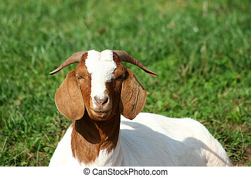 Billy goat laying in a pasture