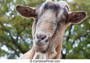Billy Goat Portrait