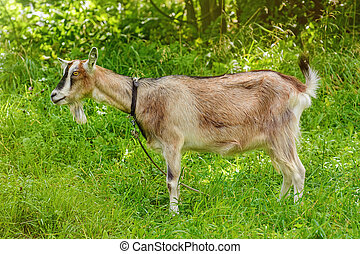 Billy Goat on the Leash