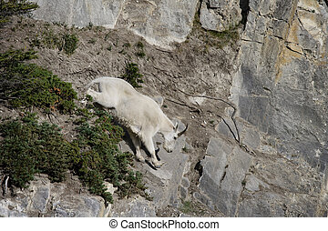 Billy Mountain Goat going down cliff, Jasper National Park