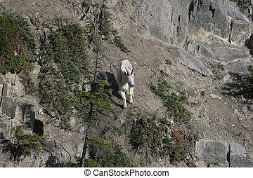 Billy Mountain Goat