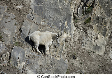 Billy Mountain Goat looking down from a cliff, Jasper...