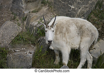 Billy Mt Goat - Close-up of Billy Mountain Goat on cliff...