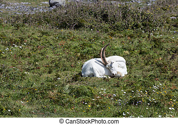 Billygoat in Aran - Billygoat in Inishmore the main Aran...