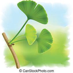 biloba., ginkgo, foglie, ramoscello