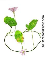 Bindweed (Convolvulus arvensis) - flowering plant isolated...