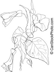 Bindweed flowers drawing on white background
