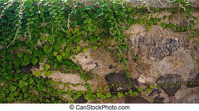 Bindweed on the wall