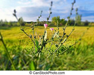 bindweed, sol, närbild, verkan, belyst, fält, bokeh