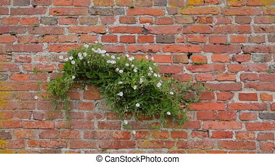 Bindweed trembling in the wind on a red brick wall - Scrub ...