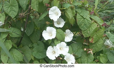 Bindweed with white flowers-gramophones blooms in late summer and early autumn