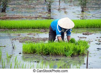binh, mező, ninh, vietnam., hántolatlan rizs
