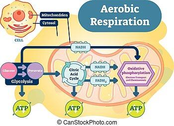 bio, légzés, aerobic, ábra, anatomical ábra, vektor