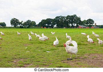 Biological chicken in agriculture landscape