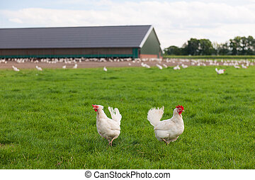 Biological chicken in agriculture landscape