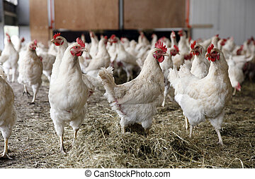 biological chickens and grass - biological chickens receive...