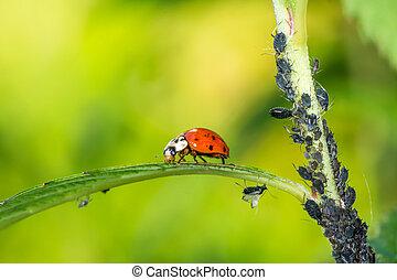 Biological pest control - ladybug eating lice