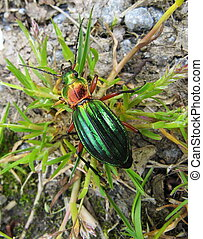 The iridescent green Carabus auratus is a flightless insectivorous ground beetle welcomed by gardeners and farmers as it eats pests such as the Colorado potato beetle.