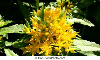 Biostimulant Golden root. - Medicinal plant Golden root. ...