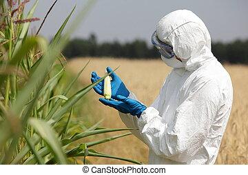 scientist examining immature corn cob on field