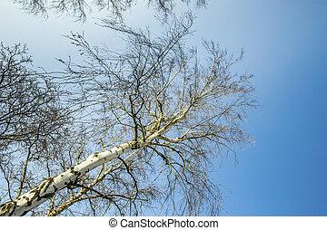 birch against the blue sky
