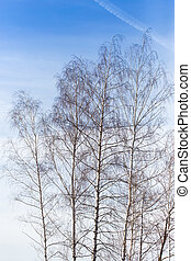 birch against the blue sky