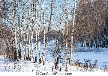 Birch alley in a winter forest