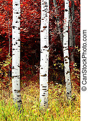 Birch Aspen Trees in Mountains Lush Landscape in Fall Autumn