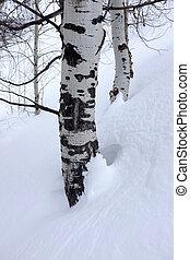 Birch Aspen Trees in Winter Snow
