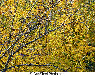 birch at autumn