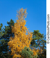 Birch at autumn yellow leaves in forest
