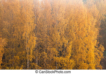 Birch at autumn yellow leaves nature background