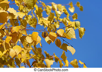 Birch autumn leaves on blue sky background