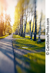 The birch avenue is lit with sunshine. Photo taken with Lensbaby