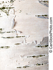 Birch bark close up in a sunny day