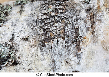 Birch Bark Macro - Close up texture of birch bark as grunge...