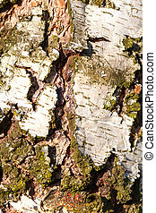 Birch Bark Texture coarse