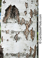 Birch bark tree trunk
