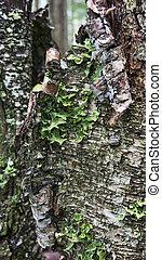 Birch Bark with Lichen