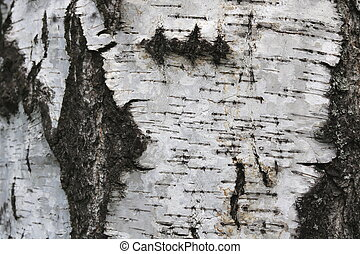 birch bark with natural texture