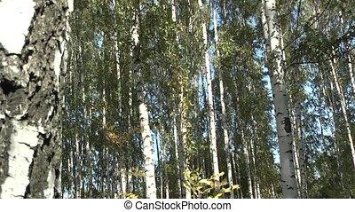 Birch - birch grove.
