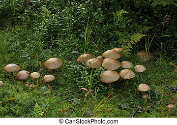 Big group of birch boletes (Leccinum scabrum) in Sweden.